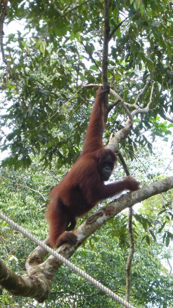 Orang Utan in Semenggoh Wildlife Rehabilitation Centre, Kuching, Sarawak, Malaysia