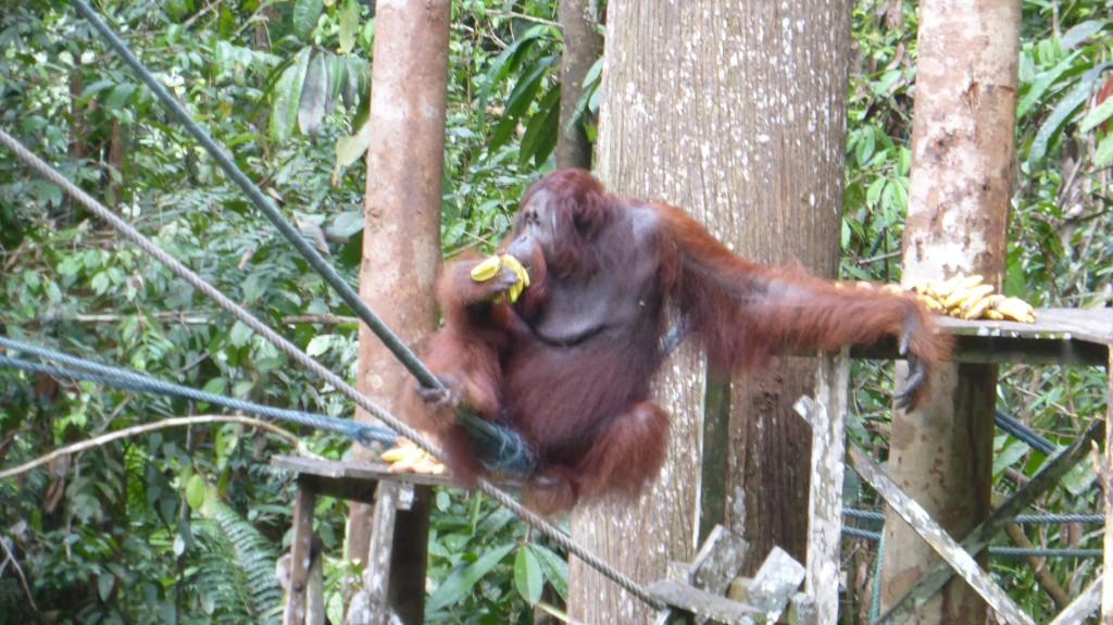 Orang Utan at Semenggoh Wildlife Rehabilitation Centre, Kuching, Sarawak, Malaysia
