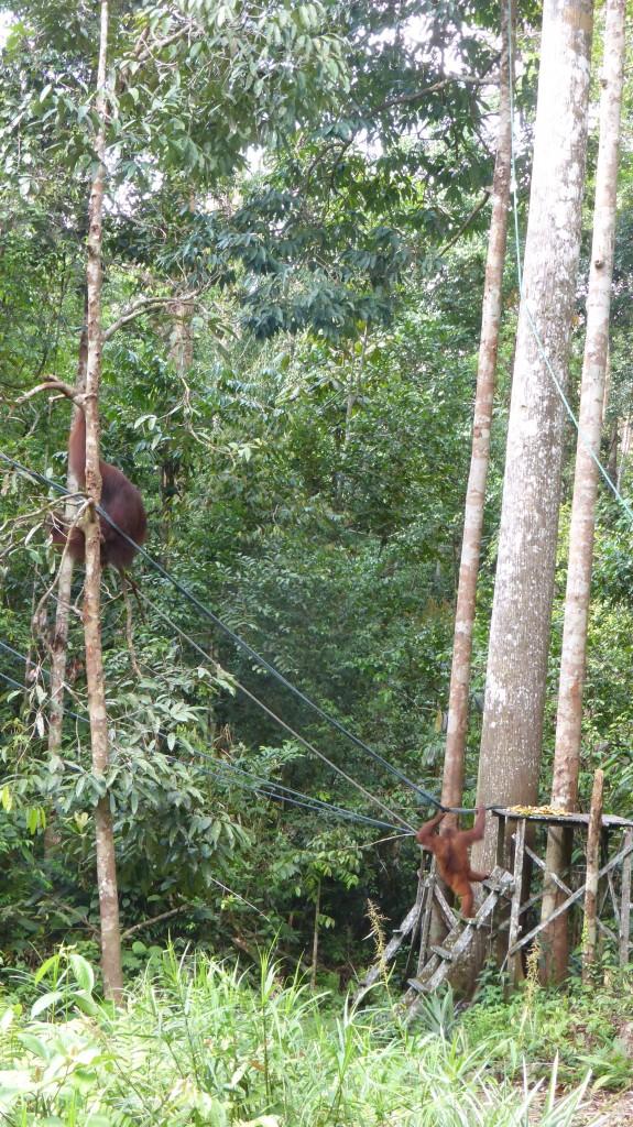 Orang Utan at Semenggoh Wildlife Rehabilitation Centre, Kuching, Sarawak, Malaysi